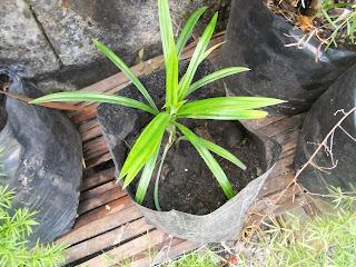 pandan plantlets